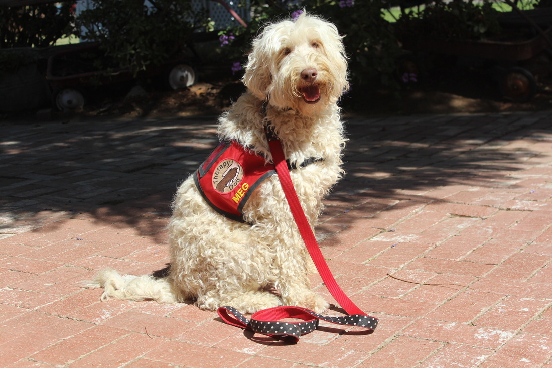 Therapy Dogs - Atlas - West Coast Australian Labradoodles
